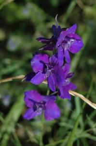 Plantes sauvages comestibles : Marie-Renée Rupin