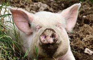 cochon-etrillet-eco-domaine