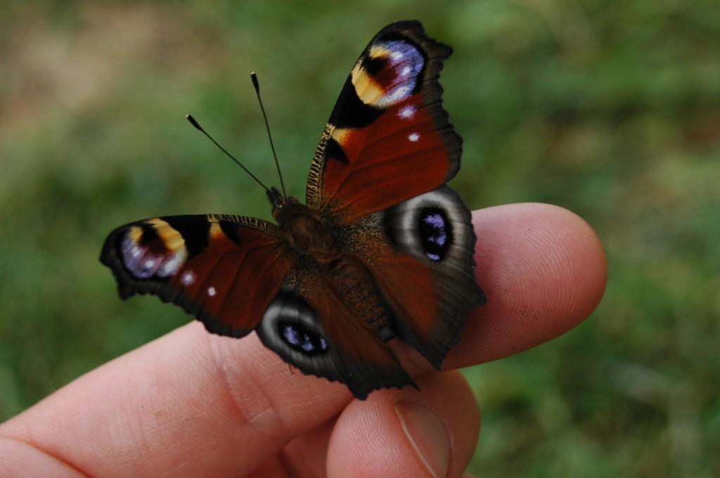 papillon-etrillet